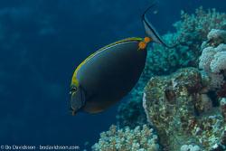 BD-100920-Fury-Shoal-1824-Naso-elegans-(Rüppell.-1829)-[Elegant-unicornfish].jpg
